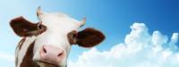 «شیر شب دوشیده شده» درمان بیخوابی است