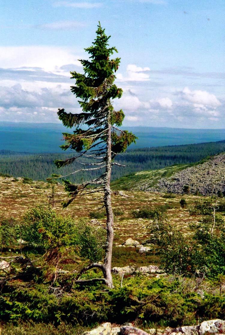 قدیمیترین درخت دنیا