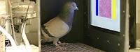 کبوترهایی که سرطان سینه را تشخیص میدهند