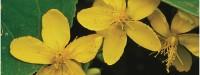 گل راعی را بشناسید