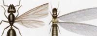تفاوت موریانه (سمت راست) و مورچه (سمت چپ)